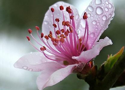 Cánh hoa đào em yêu