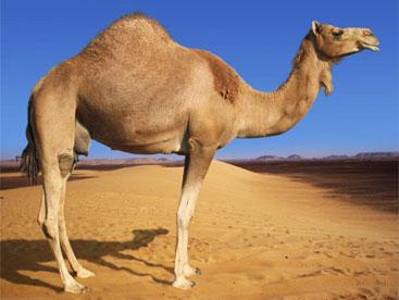 Loài lạc đà