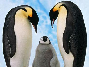 Loài chim cánh cụt