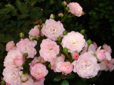 Em là bông hồng nhỏ