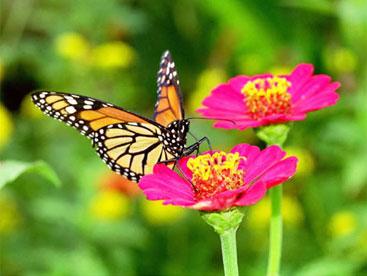 Gọi bướm