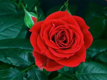 Quá trình nở của hoa hồng