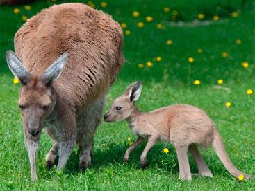Loài Kangaroo