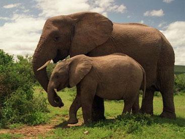 Cuộc sống hoang dã của loài voi