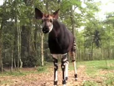 Khám phá loài Okapi