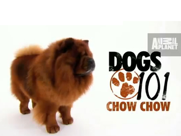 Bạn cún Chow Chow dễ thương