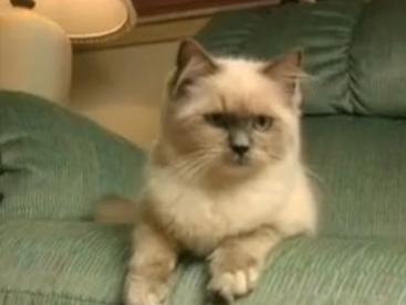 Khám phá cuộc sống loài mèo Ragdoll