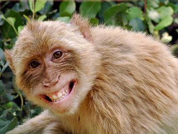 Những chú khỉ khiêu vũ