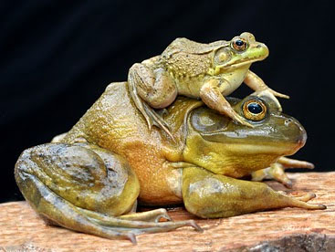 Loài ếch ương