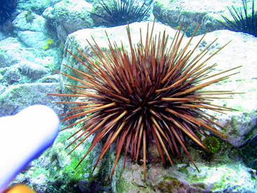 Loài Nhím biển