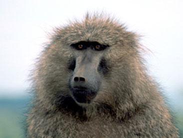 Loài khỉ đầu chó