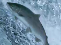 Khám phá loài cá hồi