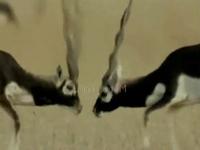 Loài linh dương