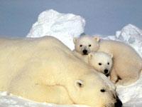 Tại sao gấu lại sống ở Bắc Cực