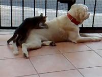 Mèo bóp lưng cho chó