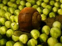 Ốc sên ở ruộng bắp cải