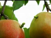 Hai con sâu táo