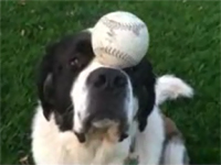 Chó làm xiếc thăng bằng