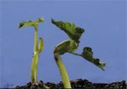 Cây đậu mọc mầm