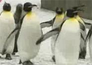 Chim cánh cụt đi diễu hành