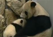 Anh em sinh đôi gấu trúc