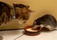 Cuộc chiến giữa mèo và chuột