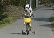 Chú chó đi xe đạp