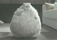 Chú mèo béo nhảy theo ti vi