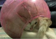 Chú mèo bị mắc kẹt trong quả bóng