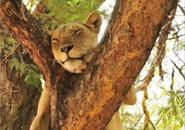 Những chú sư tử vui nhộn