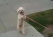 Chú chó đi bộ