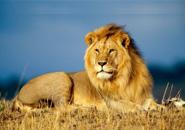 Bài hát của những chú sư tử
