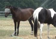 Chú ngựa tắm mát