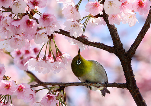 Mùa xuân tuyệt đẹp ở Tokyo